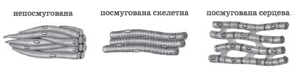 М'язові тканини