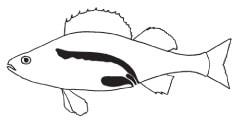 Сечостатева система риб