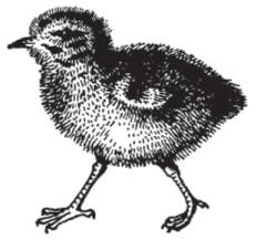 Виводкове пташеня