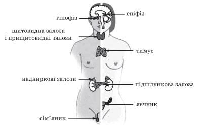 Залози внутрішньої секреції людини