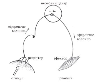 Схема рефлекторної дуги