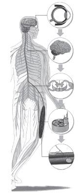 Соматична нервова система