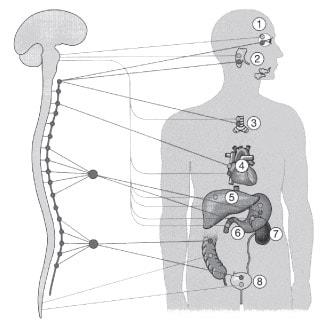 Автономна нервова система