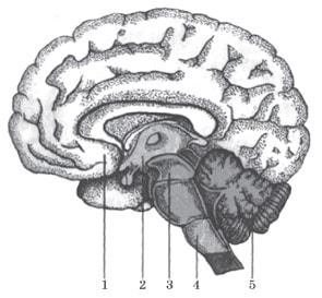 Відділи головного мозку