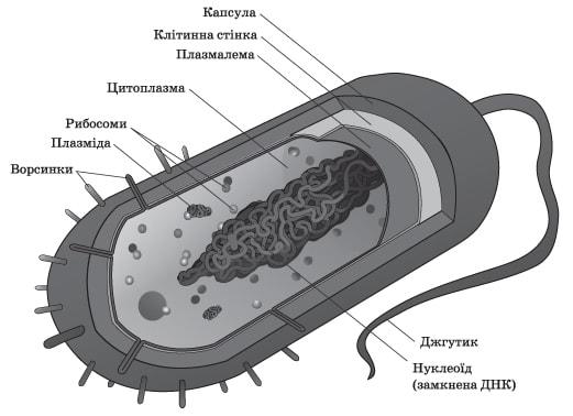 Будова клітини прокаріотів